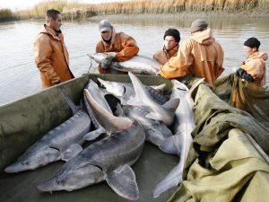 Вылов осетров в Каспийском море